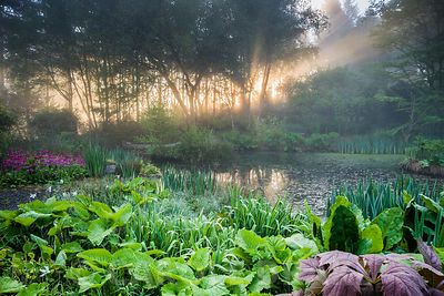 Dawn sunlight breaks through mist and trees above the pond with moored canoe, surrounded by magenta Primula pulverulenta, iri...