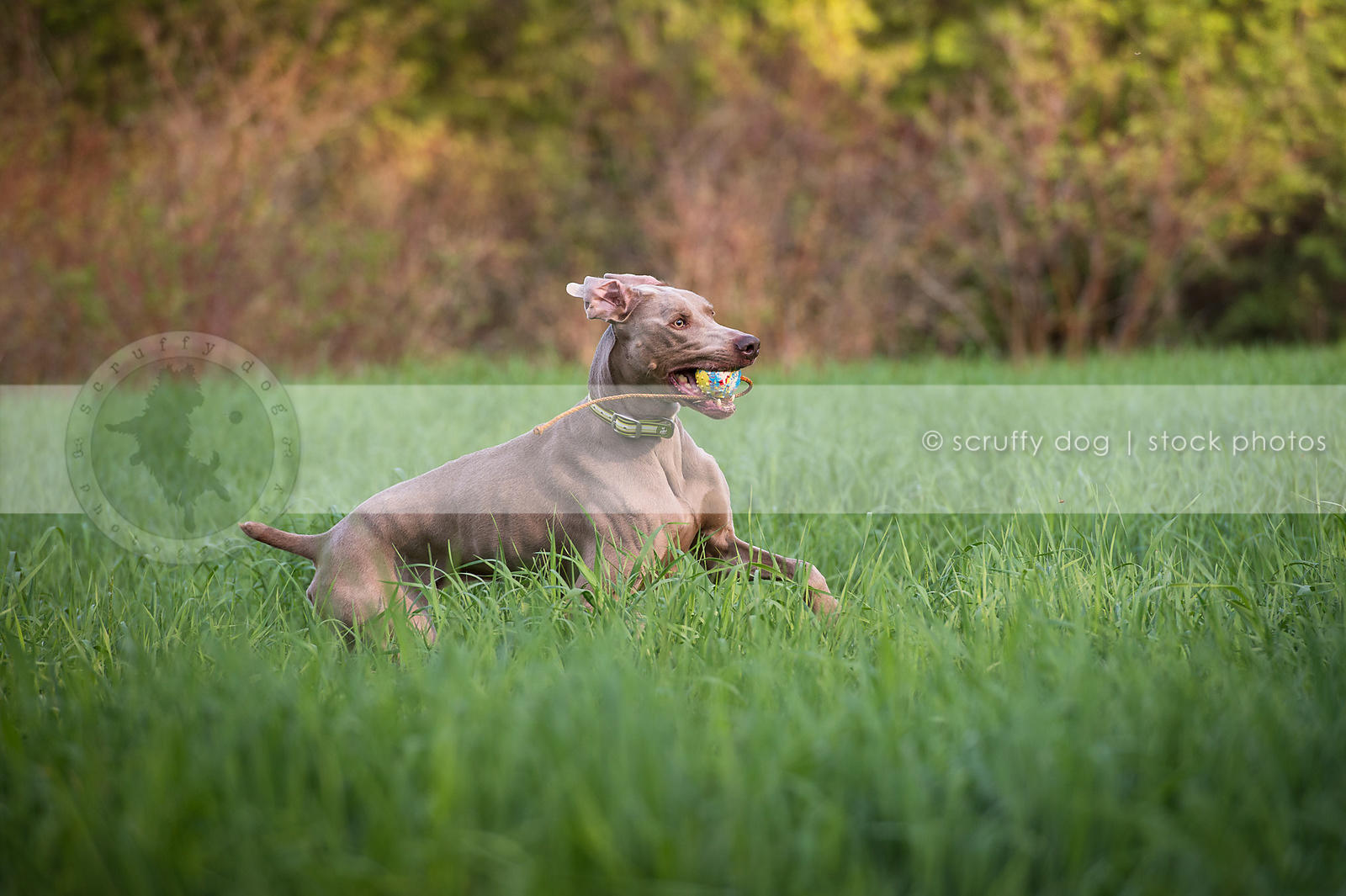 grey weimaraner dog carrying fetching toy in meadow grasses