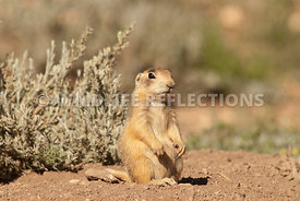 utah_prairie_dog_single_pup_pose