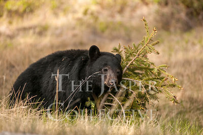 Black Bear Rubbing Tree