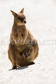 rock_wallaby_mareeba_pouch_joey_white-7