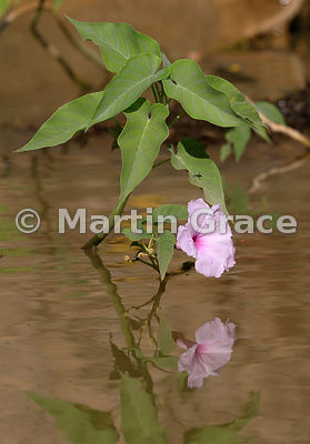 Pink Morning Glory or Bad Cotton (Ipomoea fistulosa or Ipomoea carnea ssp fistulosa), River Cuiabá, North Pantanal, Mato Gros...