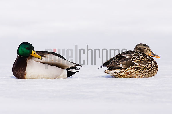 Two mallard ducks (Anas platyrhynchos) on snowy landscape, side view