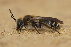 Andrena dorsata (worn) , female