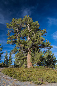 Limber Pine in Great Basin National Park