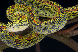 Protobothrops jerdonii xanthomelas , Red spotted pit viper, China