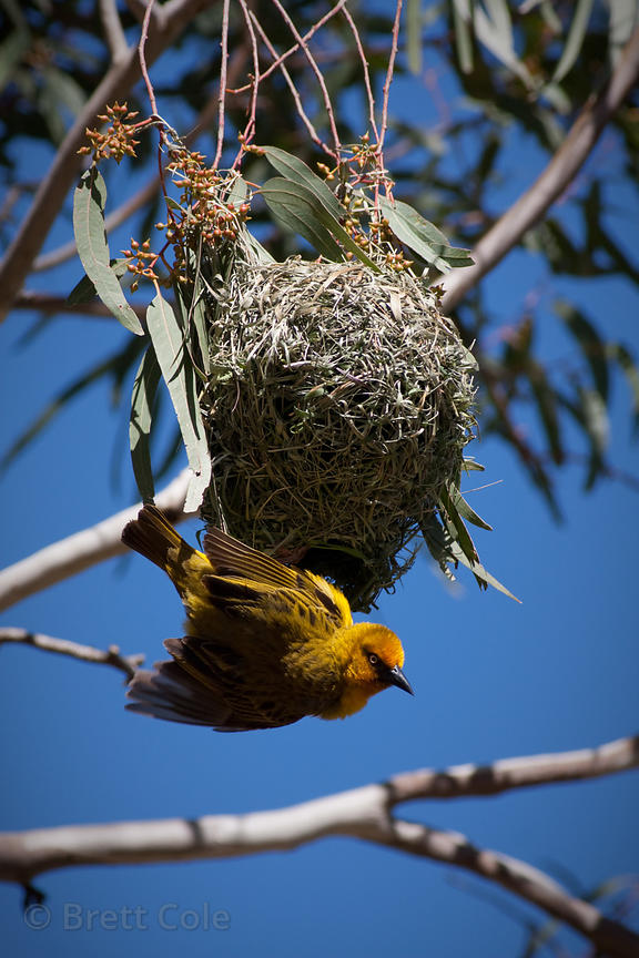 Cape weaver (Ploceus capensis) building a nest, Wildcliff Nature Reserve, South Africa