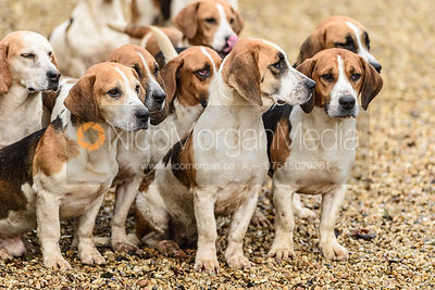 The Westerby Bassets at Hill Top Farm 24/1