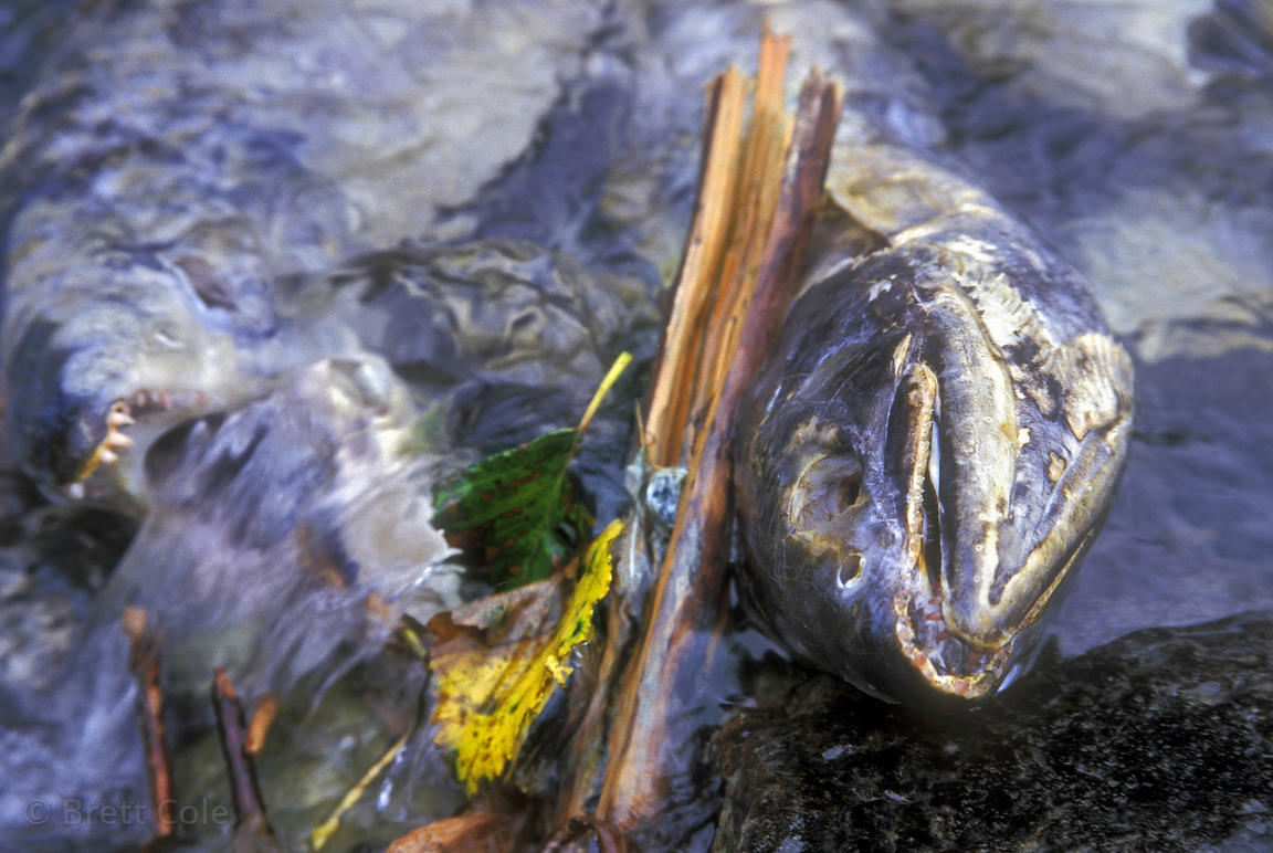 Spawned salmon in Saloompt Creek, Great Bear Rainforest of British Columbia