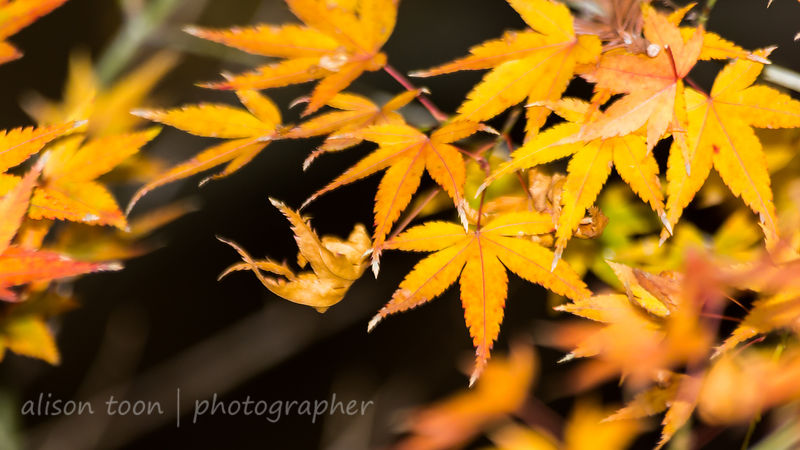 HR-JapaneseMaple-Fall-9824