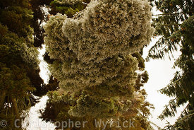 Beautiful image of frozen conifer tree.  Image almost feels upside down because the weight of the ice has bent over the top o...