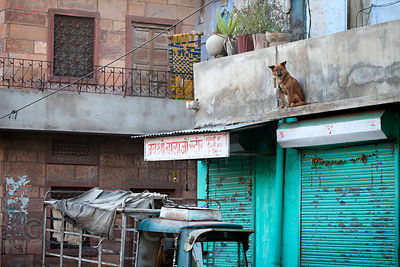 A dog sits trapped on the roof of a house in Jodhpur, Rajasthan, India