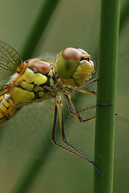 Sympetrum species - Darter species