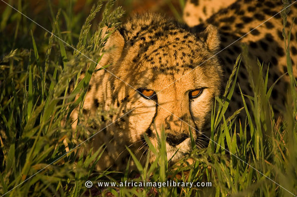 Cheetah (Acinonyx jubatus) feeding on a kill, Namibia
