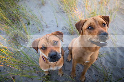 two curious tan dogs staring upward from sand and grasses