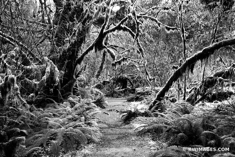HOH RAINFOREST OLYMPIC NATIONAL PARK BLACK AND WHITE PACIFIC NORTHWEST LANDSCAPE