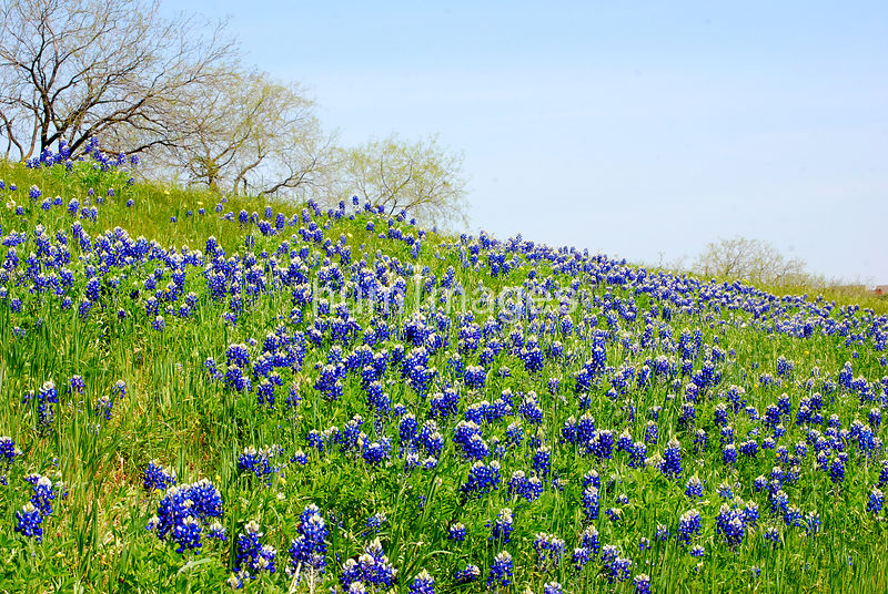 Field of bluebonnet flowers in Texas