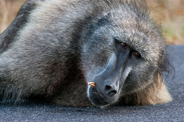 Alpha male chacma baboon from the Plateau Road troop rests in the road, his tooth knocked out from a fight with another male,...