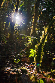 Backlit early morning forest scene, Las Nubes, Costa Rica