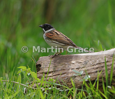Common Reed Bunting male (Emberiza schoeniclus) standing on a log, Foulshaw, Cumbria, England