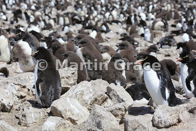 Southern Rockhopper Penguin (Eudyptes chrysocome chrysocome) colony with creche of down-clad chicks, Cape Coventry, Pebble Is...