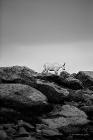 MOUNTAIN GOAT MOUNT EVANS ROAD SCENIC BYWAY ROAD COLORADO ROCKIES BLACK AND WHITE VERTICAL
