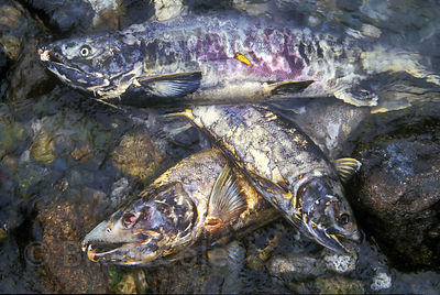 Three spawned chum salmon in the Atnarko River, Great Bear Rainforest, Nuxalk Territory, British Columbia