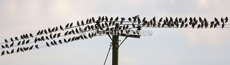 Common Starlings (Sturnus vulgaris) gathering on power lines as the sun goes down, South Walney, Cumbria