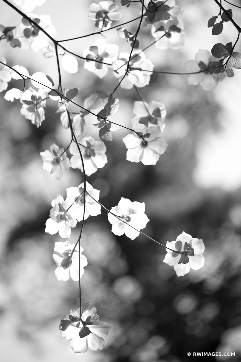 FLOWERING DOGWOOD IN SPRING YOSEMITE NATIONAL PARK CALIFORNIA BLACK AND WHITE