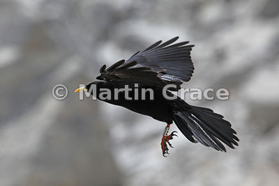 Alpine or Yellow-Billed Chough with leg ring (Pyrrhocorax graculus) in flight, Picos de Europa, Cantabria, Spain