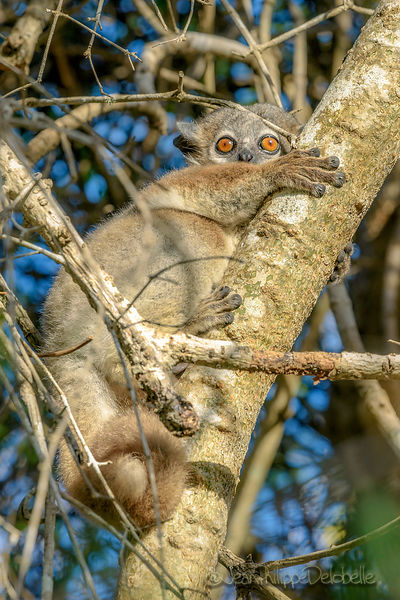 Lepilemur a pattes blanches / White Footed Sportive Lemur