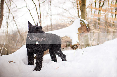 black giant schnauzer standing in winter forest