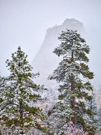 Zion Firs in Snow