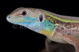 Turkish green lizard (Lacerta pamphylica)