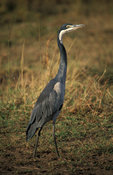 Black-headed heron, Ardea melanocephala, Maasai Mara National Reserve, Kenya