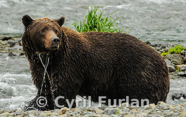 Wet Grizzley Female