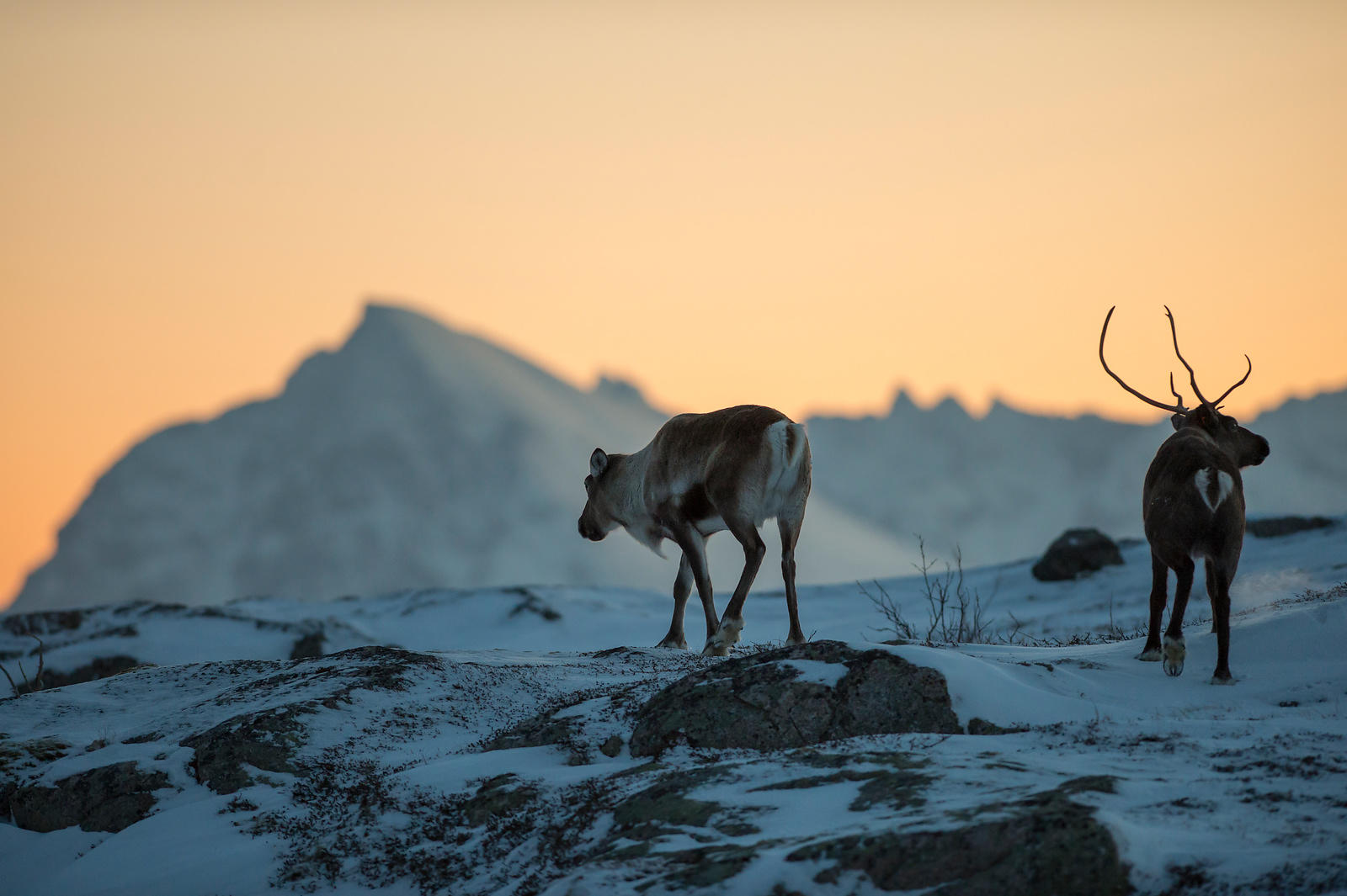 Domestic reindeer (Rangifer tarandus) at Senja, Norway