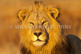 lion_king_portrait_horizontal_1