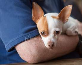 Close Up of Chihuahua Dog Resting on Mans Arm