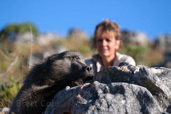 Staff from Baboon Matters check on chacma baboons from the Slangkop troop in the mountains above Ocean View, Cape Peninsula, ...