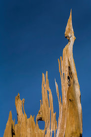 Bristlecone Pine Snag in Great Basin National Park