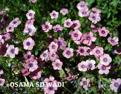 The Wildflowers of Palestine - Hairy Pink Flax