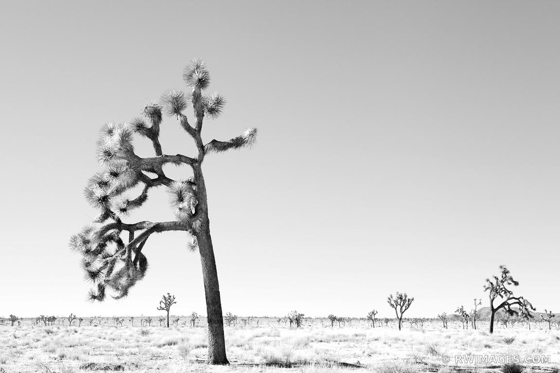 JOSHUA TREE NATIONAL PARK BLACK AND WHITE