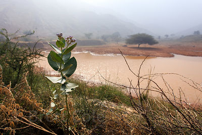 Lone tree and small muddy pond in the desert, Kharekhari village, Rajasthan, India