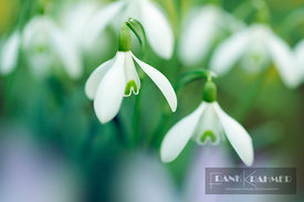 Snowdrop (galanthus nivalis)  - Europe, Germany, Bavaria, Upper Bavaria, Munich - digital