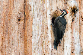 August - Pileated Woodpecker