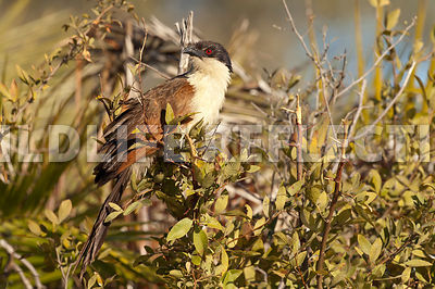 coucal_horizontal_1