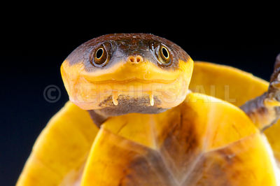 Toad-headed turtle (Mesoclemmys raniceps)