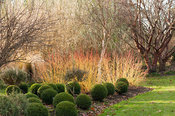 Cornus sanguinea 'Midwinter Fire' with box balls, Buxus sempervirens, and a white stemmed birch. Sir Harold Hillier Gardens, ...