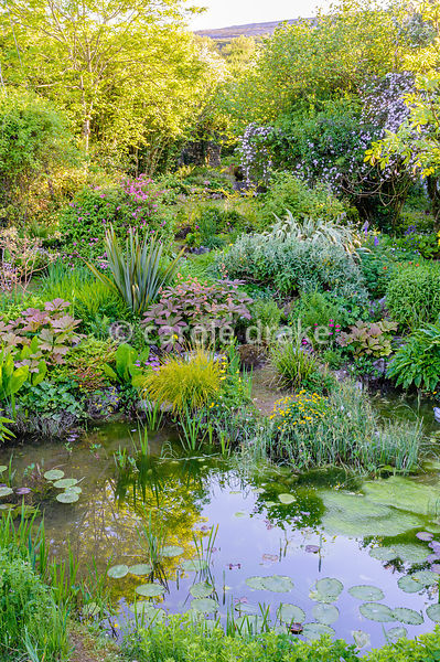 View from the bridge into the garden where planting includes Caltha palustris, Carex elata 'Aurea', rodgersias, phormiums, Ph...